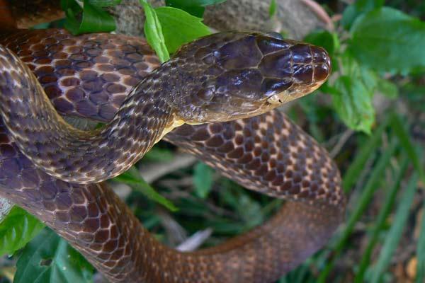 Brown Tree Snake weakly venomous