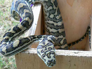 Coastal Carpet Python on bird nesting box