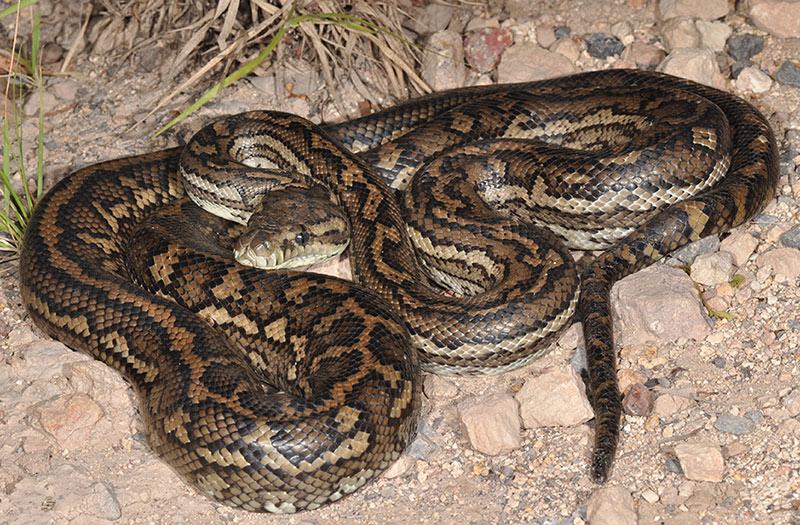 Coastal Carpet python Non venomous