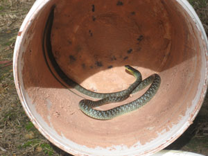 Common Tree snake in garden pot