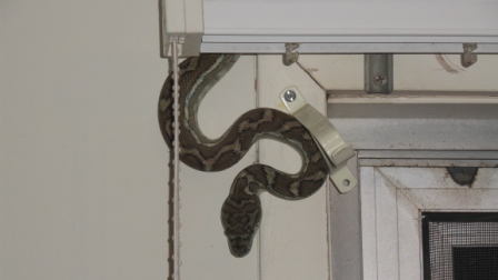 Coastal Carpet Python found itself in a residential home in Chapel Hill
