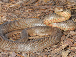 Eastern Brown Snake in defensive pose
