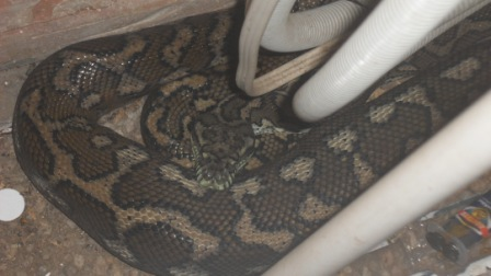 Carpet Python curled up behind an air-conditioning unit at a property in Tristania Drive Bardon