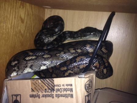 Coastal Carpet Python  in cupboard in Outlook Crescent Bardon