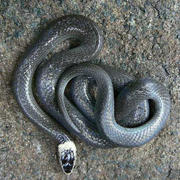 White Crown snake