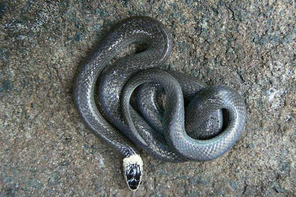 White Crowned Snake weakly venomous