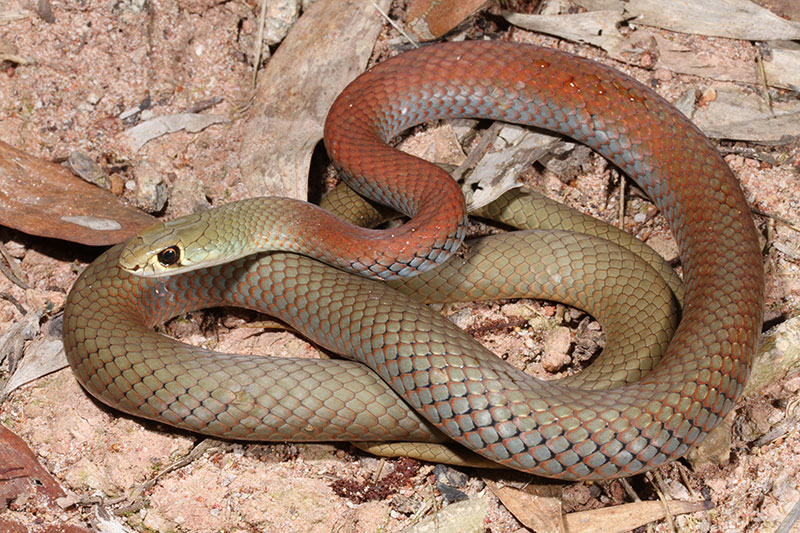 Yellow-faced Whip Snake Potentially Dangerous