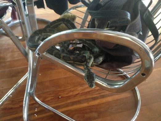 Coastal Carpet Python found in handbag in Chapel Hill