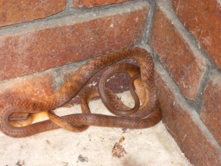 Brown Tree Snake discovered by residents hiding in a corner at their home in Chapel Hill.