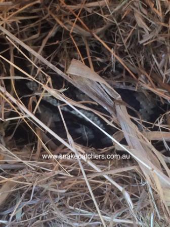 Female carpet Python on eggs