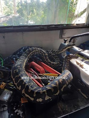 Carpet Python in toolbox