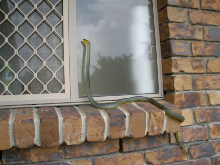 This photo demonstrates a Common Tree Snake's climbing ability very well