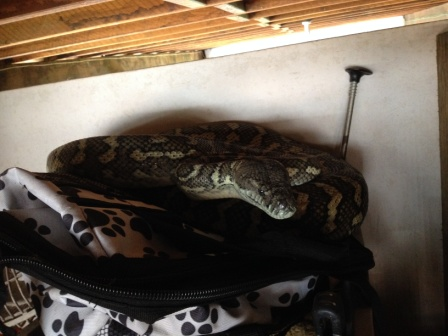 This Coastal Carpet Python ambushed a couple of Brushtail Possums at a residential property in Melinda Street, Kenmore