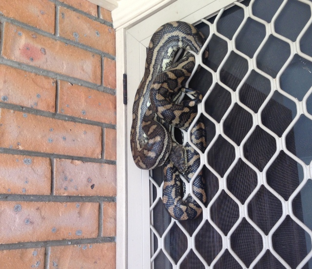 Coastal Carpet Python in screen door