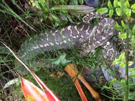 Coastal Carpet Python with a possum-shaped lump!