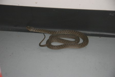 This Keelback Snake was caught and relocated by our Kenmore Snake Catcher