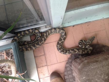 Carpet Python out and about in suburban Kenmore