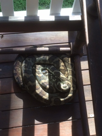 Coastal Carpet Python Soaking up some sunshine