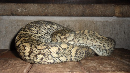 nicely-patterned Carpet Python