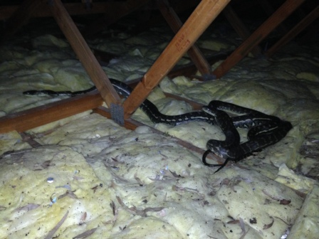 By far the most common snake to be encountered in ceiling spaces are Carpet Pythons