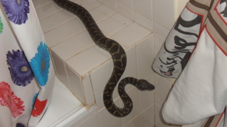 Coastal Carpet Python was recently discovered in a bathroom at the Gap